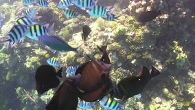 Tropical Fish Feeding on Vibrant Coral Reef stock video footage