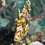 Tropical fish Filefish Royalty Free Stock Photo