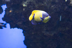 Tropical fish, fish-angel,. Latin name Pomacanthus stock images