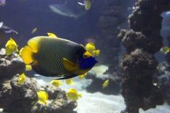 Tropical fish, fish-angel,. Latin name Pomacanthus royalty free stock image
