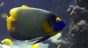 Tropical fish, fish-angel, Stock Images