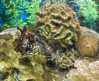 Fish-zebra Stock Image