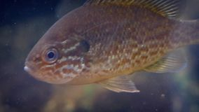Tropical fish floats then swims off. Exotic colorful fish faces forward then swims off stock video