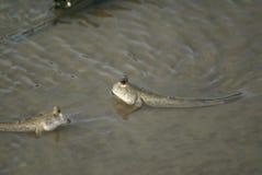 Tropical fish - foureye - in borneo Royalty Free Stock Photo