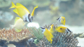 Tropical fish fox Lo (Siganus vulpinus) feed food. In a saltwater aquarium stock footage