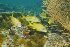 Tropical fish French grunt Haemulon flavolineatum Royalty Free Stock Images