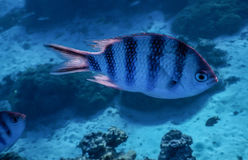Tropical fish in French Polynesia Royalty Free Stock Image