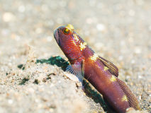 Tropical fish Goby stock image