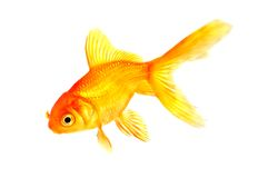 Tropical fish goldfish. Tropical fish oriental good luck symbol goldfish  isolated white background Stock Photography