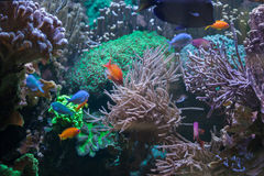 Tropical fish at the Great Barrier Reef. Sea life royalty free stock photography