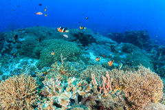 Tropical fish and hard coral on a reef Royalty Free Stock Image