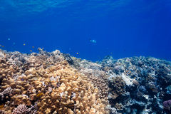 Tropical fish and hard corals. Tropical fish and hard porite corals in shallow water royalty free stock image