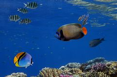 Tropical fish and Hard corals in the Red Sea. Royalty Free Stock Images