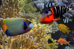 Tropical fish and Hard corals in the Red Sea Stock Photo