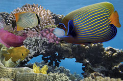 Tropical fish and Hard corals. In the Red Sea, Egypt Royalty Free Stock Photography