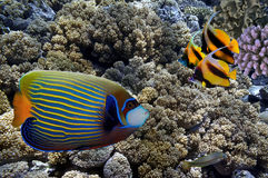 Tropical fish and Hard corals in the Red Sea. Egypt Royalty Free Stock Images