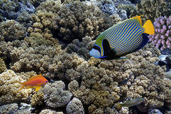 Tropical fish and Hard corals in the Red Sea,. Egypt Royalty Free Stock Image