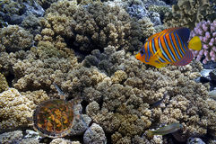 Tropical fish and Hard corals in the Red Sea. Egypt Royalty Free Stock Photography