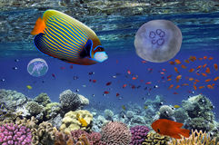 Tropical fish and Hard corals in the Red Sea. Egypt Stock Image