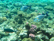 Tropical fish and hard corals in the Red Sea, Egypt. Vacation Stock Images
