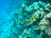 Tropical fish and hard corals in the Red Sea, Egypt. Vacation Royalty Free Stock Images