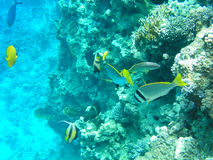 Tropical fish and hard corals in the Red Sea, Egypt. Vacation Stock Photography