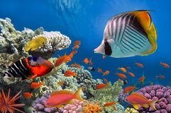 Tropical fish and Hard corals in the Red Sea Royalty Free Stock Photography