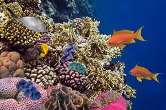 Tropical fish and Hard corals in the Red Sea Stock Images