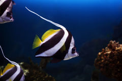 Tropical fish Heniochus acuminatus Royalty Free Stock Photos