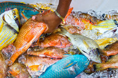 Tropical fish on ice Royalty Free Stock Image
