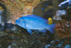 Tropical Fish In Coral Royalty Free Stock Photo