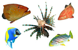 Tropical fish isolated Royalty Free Stock Photos