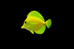 Tropical Fish isolated royalty free stock images
