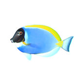 Tropical fish isolated Royalty Free Stock Photography