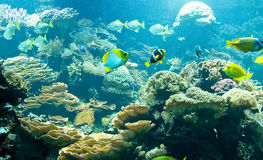 Tropical fish in its habitat. Tropical reef fish in its habitat Royalty Free Stock Photo