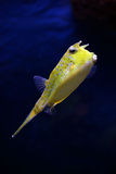 Tropical fish - Lactoria Cornuta Stock Photos