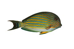 Tropical Fish A. lineatus Stock Images