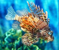 Tropical fish lion fish in aquarium stock photos