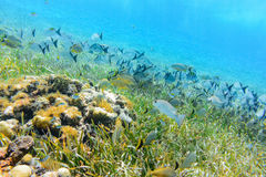Tropical fish live near the mayan ruins off the coast of Cozumel. stock image