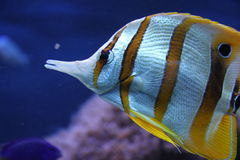 Copperband butterflyfish. Many marine tropical fish, particularly those of interest to fishkeepers, are those that live among or in close relation to coral reefs Stock Images