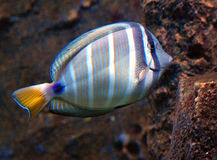 Tropical Fish, Marine Life Stock Image