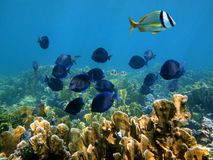 Tropical fish in Mexico Stock Photo