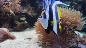 Tropical fish. Moorish idol. Corals. Moorish idol in the sea and ocean. Marine inhabitants. Aquarium fish. Stock Photography