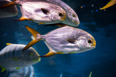 Tropical fish at Moscow Oceanarium Royalty Free Stock Photography
