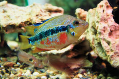 Tropical fish. Multi-colored Tropical small fish royalty free stock photos