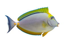 Tropical Fish Naso Tang. Isolated on white stock images