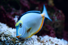 Tropical Fish Naso Tang Royalty Free Stock Photos