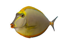 Tropical Fish Naso Tang isolat Royalty Free Stock Photos
