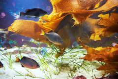 Tropical fish near coral reef Royalty Free Stock Image