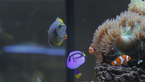 Tropical fish near coral reef. Landscape with tropical fishes and corals, aquarium stock video